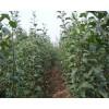 烟台红富士苹果苗800万棵批发 矮化苹果苗产地直销