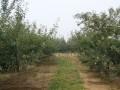 苹果栽培乔化树和矮化密植树的整形修剪视频讲解