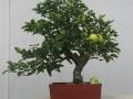 苹果盆景—龙爪槐的修剪视频讲解