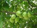 2015年陕西苹果面积将达1000万亩