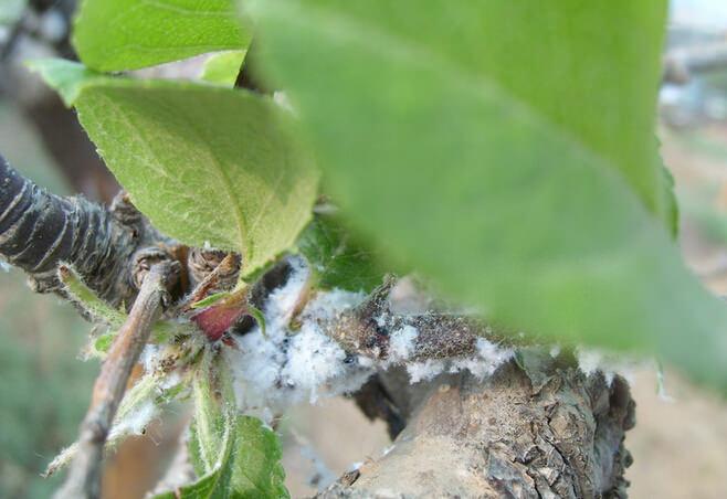 苹果树绵蚜的危害症状及防治技术