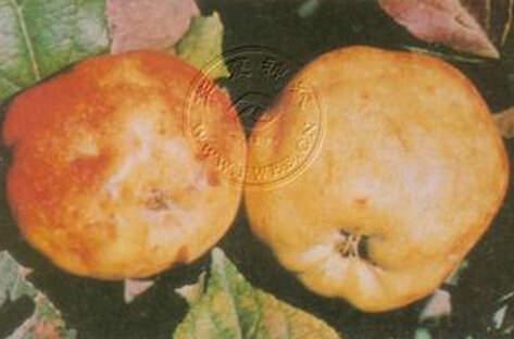 苹果缺硼缩果症 、 苹果缺硼缩果症 防治方法