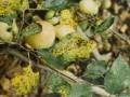 苹果褐斑病,灰斑病,圆斑病,轮斑病,斑点落叶病 特点与防治