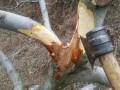 苹果树腐烂病特点及防治